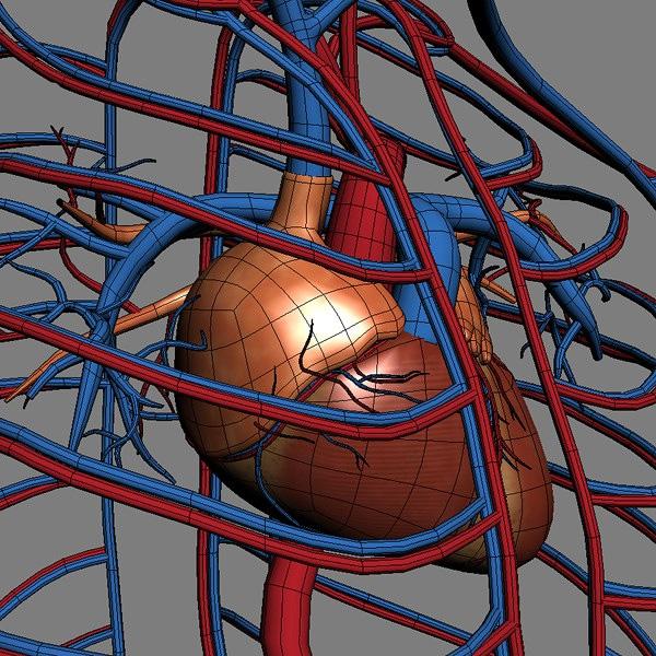Le Système Cardio-vasculaires en infographie 3D