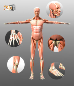 Le corps humain en 3D