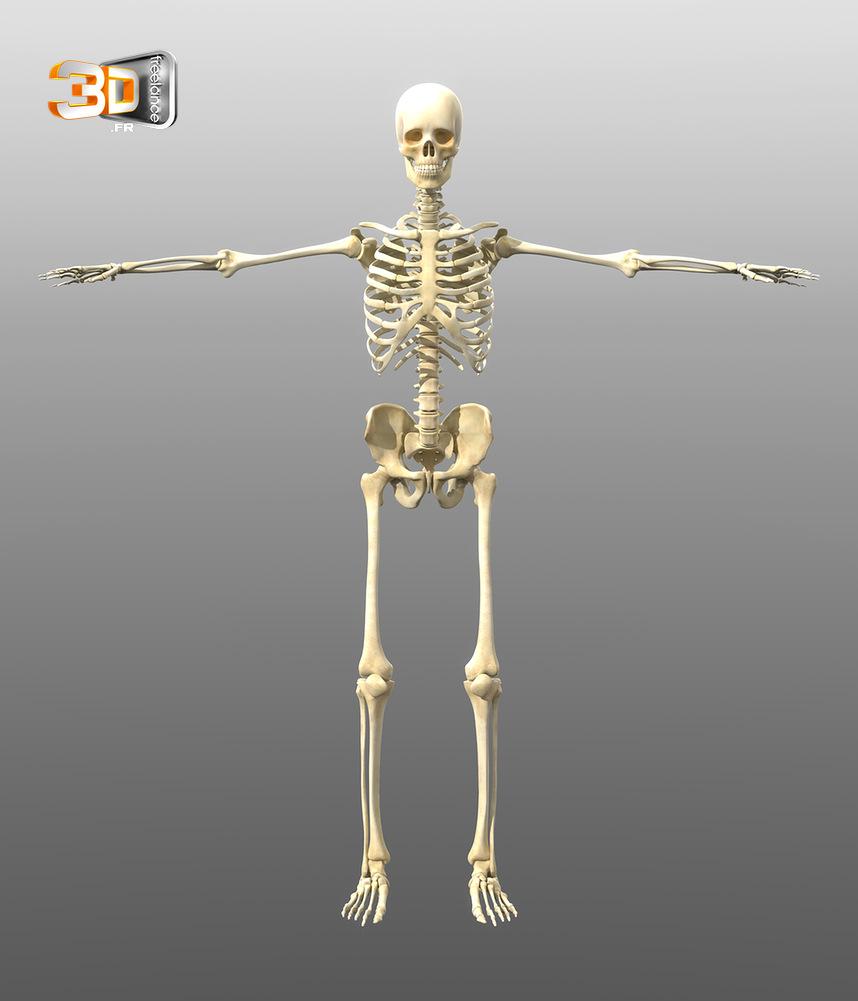 Squelette Humain en 3D