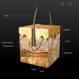 Communication Médicale : le système pileux en 3D