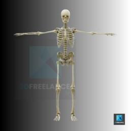 image squelette humain - illustrateur médical