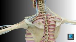 système artériel - illustration médicale