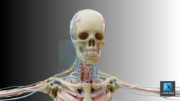 système circulatoire sanguin - illustration médicale
