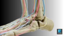 système vasculaire - illustration